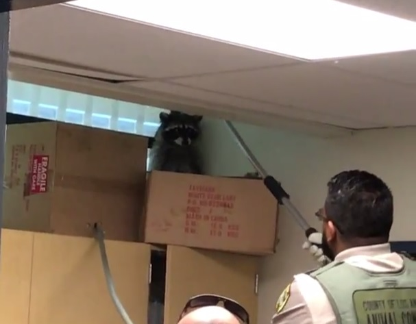 Raccoon in the Back Room